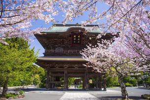 桜満開の春の建長寺の写真素材 [FYI04834384]