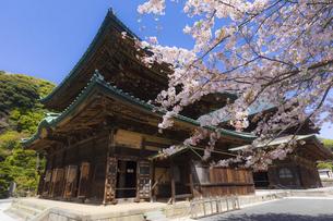 桜満開の春の建長寺・仏殿と法堂の写真素材 [FYI04834385]