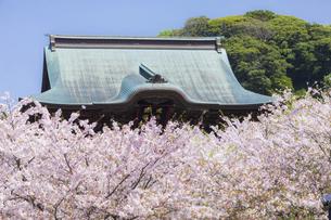 桜満開の春の建長寺の写真素材 [FYI04834388]
