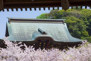 桜満開の春の建長寺の写真素材 [FYI04834389]