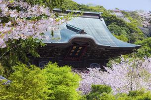 桜満開の春の建長寺の写真素材 [FYI04834390]