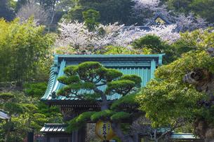 桜咲く春の長谷寺の写真素材 [FYI04834395]