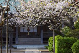 桜咲く鎌倉の極楽寺の写真素材 [FYI04834396]