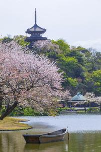 春霞の桜咲く三渓園の写真素材 [FYI04834400]