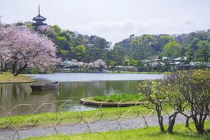 春霞の桜咲く三渓園の写真素材 [FYI04834401]
