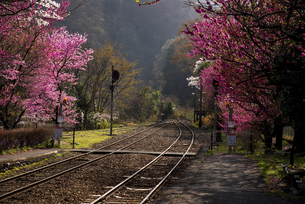 午後の光に輝く谷間の線路とハナモモの花 わたらせ渓谷鉄道神戸駅よりの写真素材 [FYI04834423]