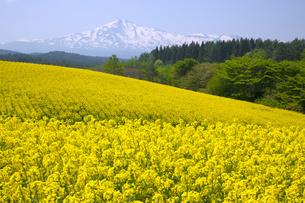 鳥海高原 鳥海山と菜の花の写真素材 [FYI04834503]