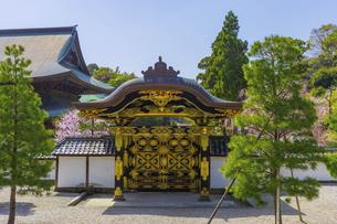 桜咲く春の建長寺・唐門の写真素材 [FYI04834560]