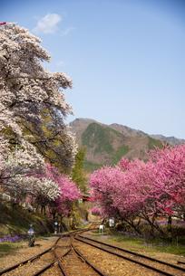 谷間のローカル線線路と桜と花桃 わたらせ渓谷鉄道 神戸駅付近の写真素材 [FYI04834684]