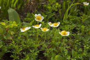 月山 弥陀ヶ原のチングルマの花の写真素材 [FYI04834803]