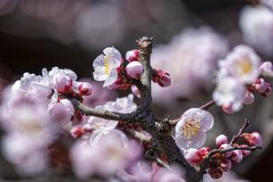 咲いているピンクの梅の花の写真素材 [FYI04834830]