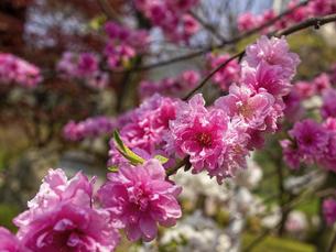 咲いているピンクの花桃の花の写真素材 [FYI04834833]