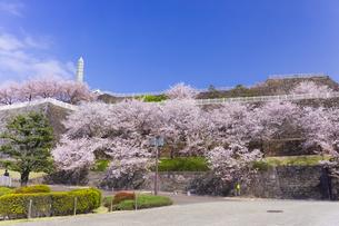 桜咲く春の舞鶴城公園の写真素材 [FYI04834932]