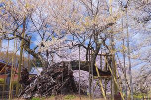 実相寺の山高神代桜の写真素材 [FYI04834945]
