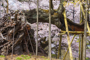 実相寺の山高神代桜の写真素材 [FYI04834946]