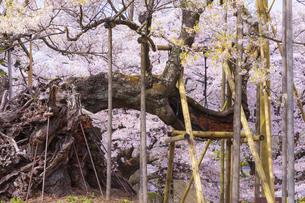 実相寺の山高神代桜の写真素材 [FYI04834947]