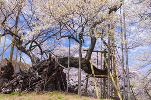 実相寺の山高神代桜の写真素材 [FYI04834948]