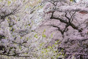 実相寺の満開の桜の写真素材 [FYI04834950]