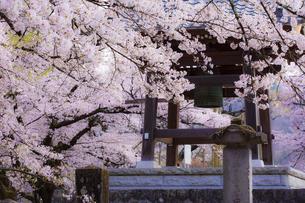 実相寺の鐘楼と桜の写真素材 [FYI04834952]
