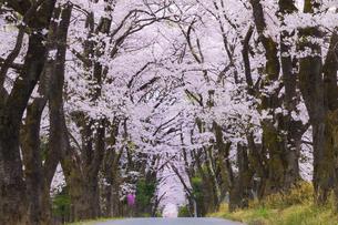 眞原の桜並木の写真素材 [FYI04834954]