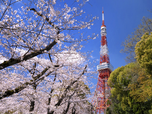 東京タワーと桜並木 東京都の写真素材 [FYI04835002]