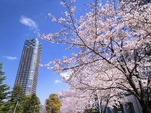 檜町公園のサクラ並木 東京都の写真素材 [FYI04835004]