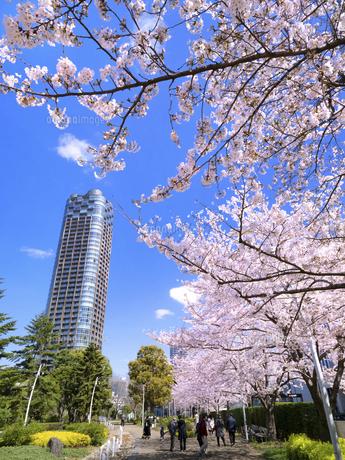 檜町公園のサクラ並木 東京都の写真素材 [FYI04835005]