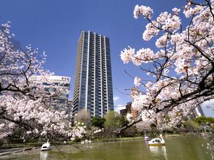 満開の桜と不忍池 東京都上野公園の写真素材 [FYI04835129]