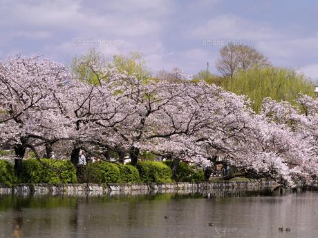 満開の桜と不忍池 東京都上野公園の写真素材 [FYI04835133]