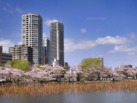 満開の桜と不忍池 東京都上野公園の写真素材 [FYI04835134]