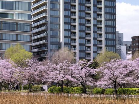満開の桜と不忍池 東京都上野公園の写真素材 [FYI04835135]