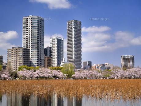 満開の桜と不忍池 東京都上野公園の写真素材 [FYI04835136]