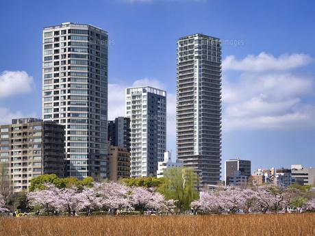 満開の桜と不忍池 東京都上野公園の写真素材 [FYI04835141]