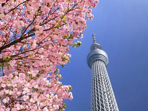 東京スカイツリーとサクラの写真素材 [FYI04835152]