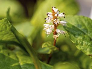 咲いているハルトラノオの花の写真素材 [FYI04835218]