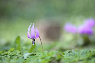 かたくりの花の写真素材 [FYI04835237]