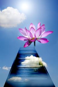はすの花の写真素材 [FYI04835262]