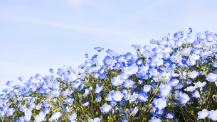 【春】青空の下で咲くネモフィラの花畑の写真素材 [FYI04835346]