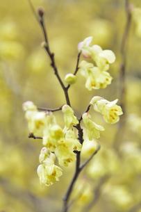 満開のヒュウガミズキ(マンサク科トサミズキ属の落葉低木)の黄色い花と枝の写真素材 [FYI04835347]