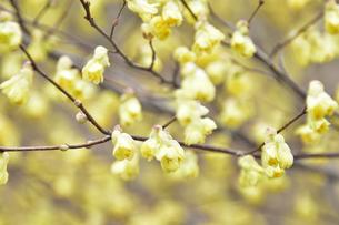 満開のヒュウガミズキ(マンサク科トサミズキ属の落葉低木)の黄色い花と枝の写真素材 [FYI04835348]