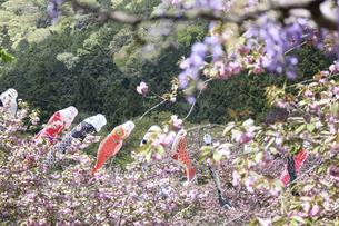 鯉のぼりと八重桜の写真素材 [FYI04835487]