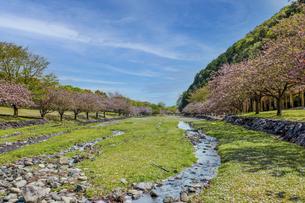 満開の八重桜の写真素材 [FYI04835488]