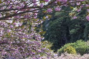 満開の八重桜の写真素材 [FYI04835489]