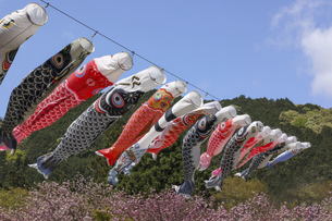鯉のぼりと八重桜の写真素材 [FYI04835490]