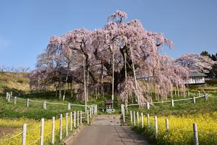 三春の滝桜の写真素材 [FYI04835495]