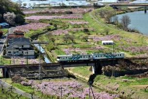 桃の花と阿武隈急行の写真素材 [FYI04835496]
