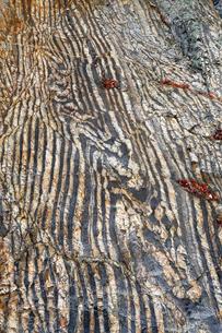 【地学教材】12月 褶曲構造 -足尾山地のチャート層の例の写真素材 [FYI04835567]