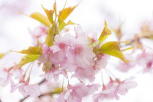 河津桜の写真素材 [FYI04835843]