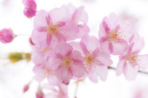 河津桜の写真素材 [FYI04835846]