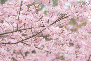 河津桜の写真素材 [FYI04835847]
